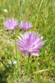 4 Unidentified pink flower