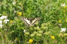 5 Common Swallowtail