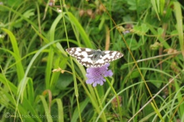 8 Marbled White