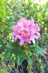 8 Rust-leaved alpenrose