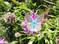 12 Blue butterfly
