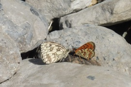 12 Marbled White (L) and Fritillary (R)