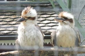 13 Kookaburras