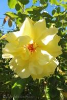 13 Yellow rose