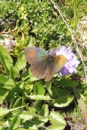 14 Meadow Brown (possibly)