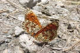 14 Two Fritillaries