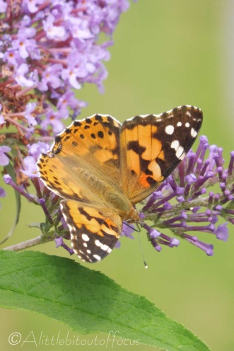 15 Painted Lady
