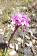 15 Red Alpine Catchfly