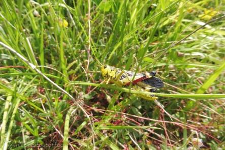 16 Grasshopper