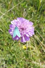 19 Forester moth