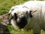 19 Valais Blacknose sheep