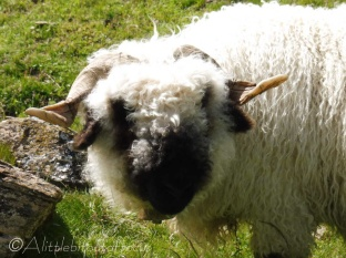 19 Valais Blacknose sheep