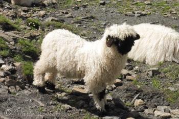 20 Valais Blacknose lamb
