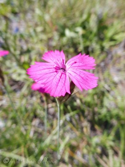 22 Carthusian Pink