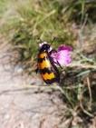 23 Black and amber beetle