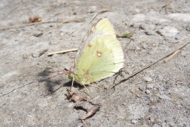 24 Clouded Yellow butterfly (possibly)