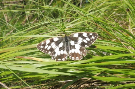 3 Marbled White
