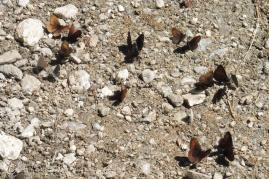 34 Butterflies
