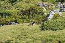 37 Marmot