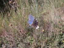 5 Blue butterfly