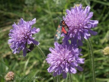 5 Six spot Burnett on Wood Scabious