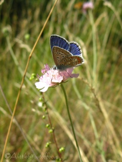 7 Common Blue