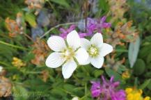 Grass-of-Parnassus