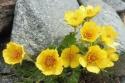 14-yellow-alpine-pasqueflowers