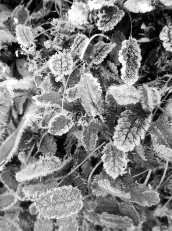13-frosty-leaves-bw