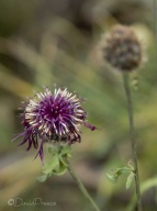 24-ex-alpine-knapweed