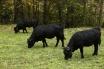 26-val-dherens-cows