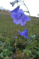 29-bellflower