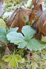 3-frosty-autumn-leaves