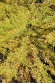 7-fir-tree