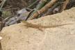 8-lizard
