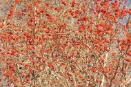 27-red-berries