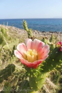 3-prickly-pear-flower