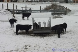 9-val-dherens-cows