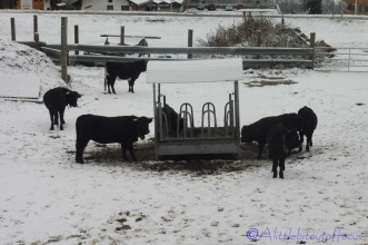 9-val-dherens-cows