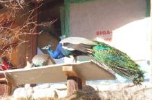 10-peacock