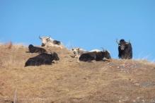 9-yaks