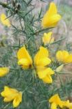 15-gorse-flowering