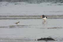 16-ringed-plover-and-oyster-catcher