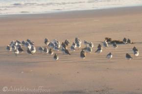 18-ringed-plovers-and-sanderlings