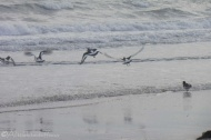 19-oyster-catchers-take-to-the-air