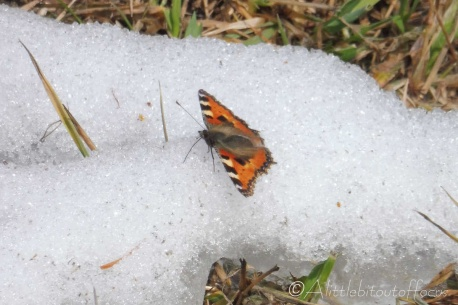 1 Tortoiseshell on the snow