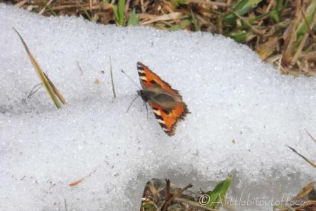1 Tortoiseshell on the snow