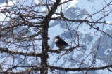2 Spotted Nutcracker