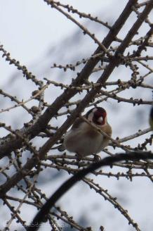 20 Goldfinch
