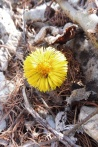 Could be a Colt's-foot